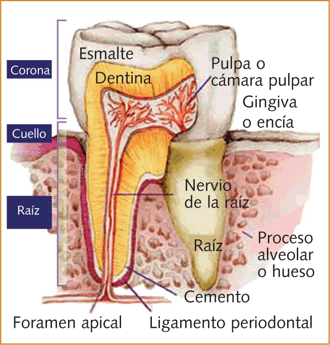 glosario odontologico